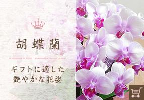 胡蝶蘭 ギフトに適した艶やかな花姿