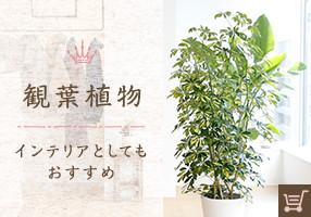 観葉植物 インテリアとしてもおすすめ
