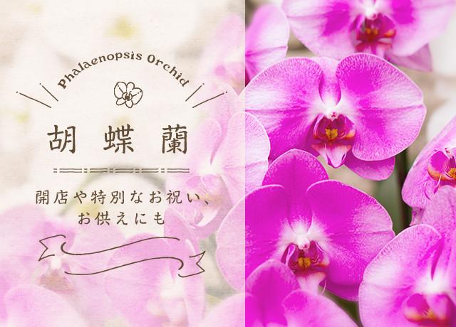 胡蝶蘭 開店や特別なお祝い、お供えにも